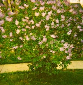 The mauve lilac bush at 204.